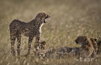 Ohrozený gepard sa môže vrátiť do prírody, rozhodol súd