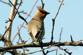 Na hornú Nitru zavítali vtáčí hostia zo severu Európy