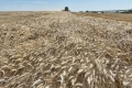 Priemerná úroda hustosiatych obilnín je tento rok o pätinu nižšia