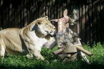 Lev v ZOO