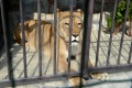 V košickej zoo náhle uhynula levica Elza