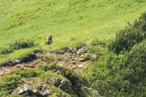 Pozorovanie medveďov v Západných Tatrách