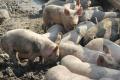 V troch okresoch v Lotyšsku vyhlásili výnimočný stav pre mor ošípaný