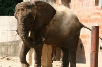 Africké slony v zoo onedlho neuvidíte