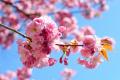 Ulice v Nitre budú zdobiť sakury, sú darom japonského veľvyslanectva