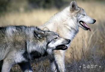 Novou technológiou vedia vedci vlkov presne identifikovať podľa vytia
