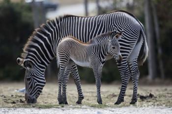 V bojnickej zoo sa narodila zebra, dostala meno Malala