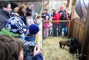 Prvým tohtoročným prírastkom v košickej Zoo je ovečka kamerunská