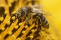 Štúdia: Včelí jed zabíja agresívne bunky rakoviny prsníka