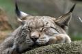 O ťažko zranenú samicu rysa z Podhradia sa starajú v bojnickej zoo