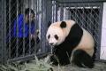 VIDEO: Pandu veľkú narodenú v USA previezli do Číny