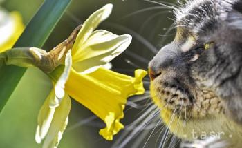 Mačka čuchá kvet počas slnečného jarného dňa v záhrade v nemeckom meste Gelsenkirchen 22. marca 2019.