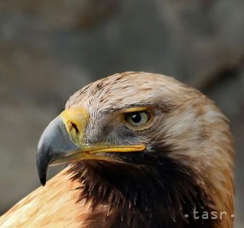 Vo Východoslovenskom múzeu predstavia život orla krikľavého