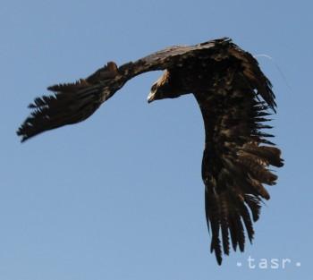 Ornitológovia zmapovali počty ohrozených dravcov