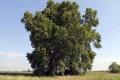 Za Strom roka sa dá hlasovať už len pár dní, vedie 300-ročný platan