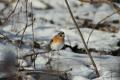 Tieto druhy vtákov môžeme na Slovensku pozorovať len v zime