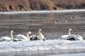 Hasiči evidujú nárast výjazdov k uhynutým labutiam