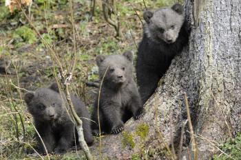Nefoťte si v lese medvieďatá, vyzývajú ochranári