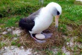 Táto šesťdesiatšesťročná samička albatrosa čaká opäť mláďa
