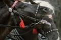 Na furmanskú súťaž v Detve príde viac ako 20 koní z celého Slovenska