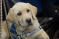 Výcviková škola upozorňuje: kvalita vodiacich psov sa u nás neoveruje