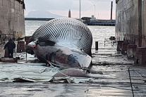 Mŕtva veľryba pri pobreží Sorrenta