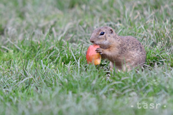 Na snímke syseľ pasienkový sa kŕmi jablkom na lúke neďaleko obce Muráň 23. mája 2019.