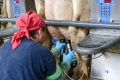 Slovenskí prvovýrobcovia očakávajú vyššie nákupné ceny mlieka