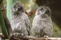 VIDEO: V košickej zoo sa vyliahli mláďatá sovy laponskej