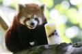 Z francúzskej zoo utiekla po silnom snežení panda červená