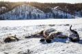 Extrémne mrazy v Mongolsku už druhú zimu po sebe zabíjajú dobytok