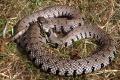 Vedec Univerzity Komenského objavil nový druh hada