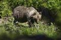 Na Aljaške sa množia útoky medveďov na ľudí