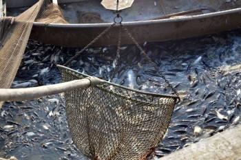 Budúci rybári si svoju šikovnosť preverili pri výlove kaprov