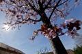 Trnava ponúka mestské stromy na adoptovanie do súkromných záhrad