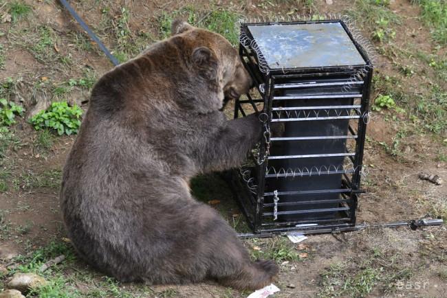 VIDEO: Medveď v zoo počas experimentu prekonal psychologickú bariéru