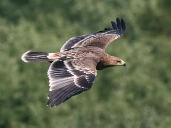 Ochrana orla kráľovského si vyžaduje ekologizáciu elektrického vedenia