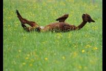Jarné strihanie domestikovanej lamy alpaka