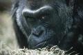 Zomrela najstaršia gorila v USA a zároveň prvá,ktorá sa narodila v zoo