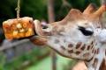 Žirafám hrozí vyhynutie, varuje ochranárska organizácia IUCN