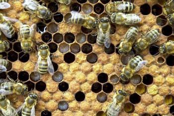 Podľa OSN včely prispievajú k opeleniu vyše 170.000 druhov rastlín
