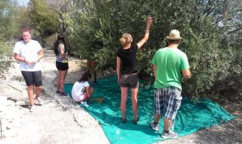 Študenti na Cypre oberali olivy, v Taliansku piekli domáci chlieb