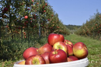 Na snímke jablká odrody Topaz počas zberu v sade Poľnohospodárskeho družstva v Čachticiach 21. septembra 2018.