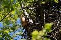 Kriticky ohrozené sokoly červenonohé zahniezdili na Slovensku
