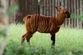 Malý samček antilopy bongo z bojnickej zoo dostal meno Dakarai