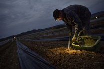 Zber úrody pod rúškom tmy