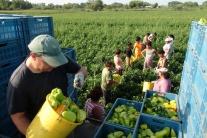 Zber papriky a melónov v Marcelovej