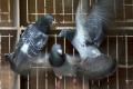 Poštového holuba vydražili za rekordných 1,3 milióna eur