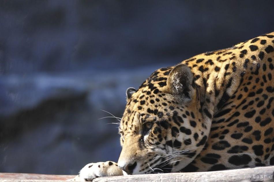 VIDEO: Na strednej škole v Indii útočil leopard, zranil šesť ľudí