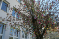 Japonskú sakuru pred mestským úradom zdobí takmer 1500 kraslíc